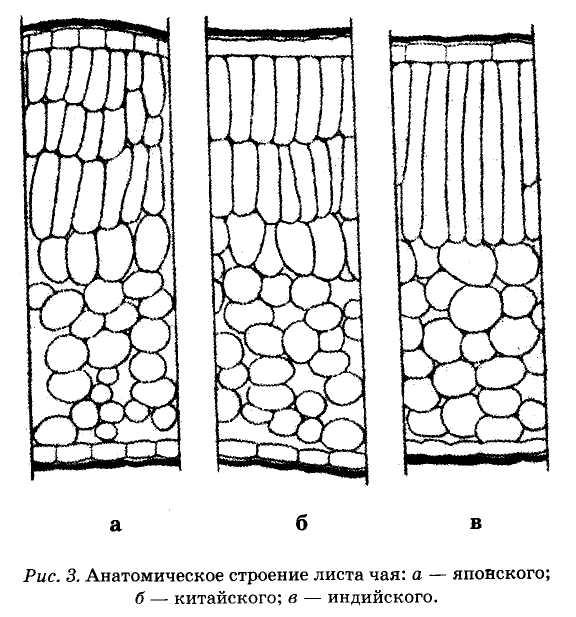 анатомическое строение листа чая